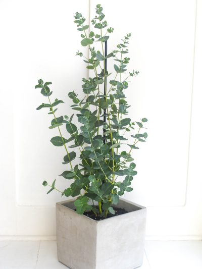 eucalyptus with small gray-green leaves as a houseplant in a square concrete flowerpot