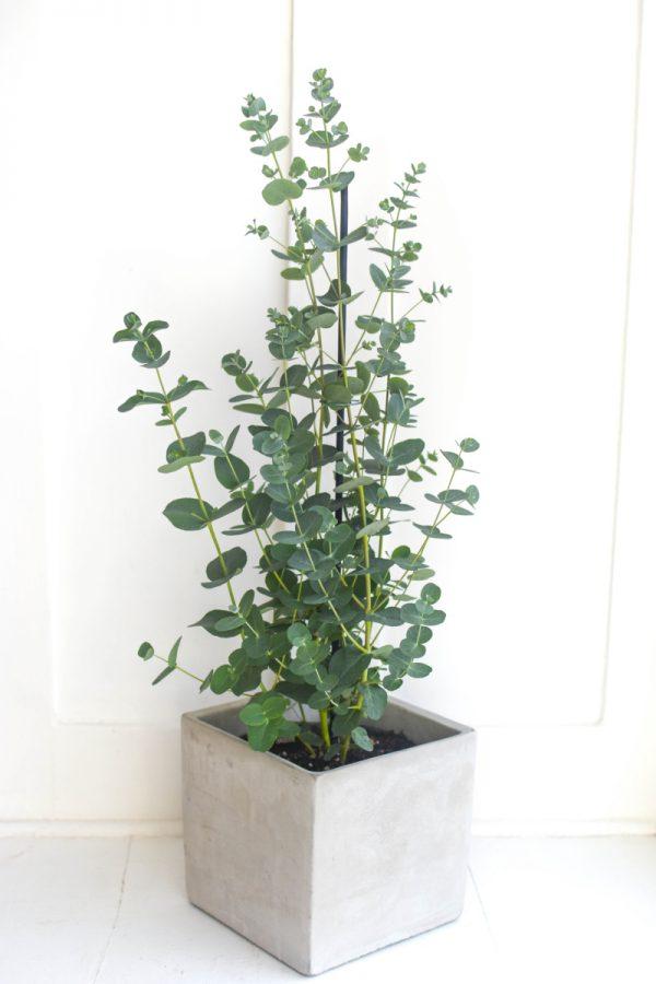 eukalyptus s drobnymi sedozelenymi listy jako pokojova rostlina v hranatem betonovem kvetinaci