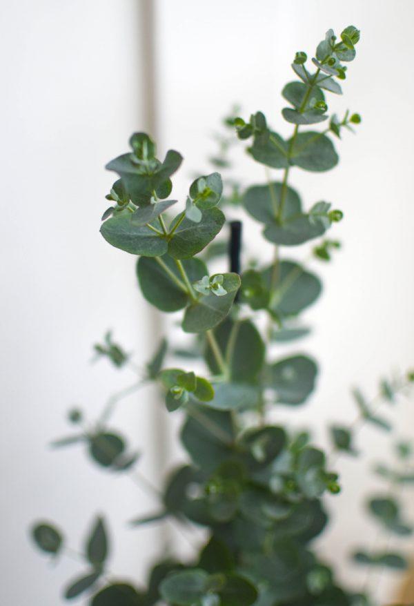 detail rostliny eukalyptu s drobnymi sedozelenymi listy