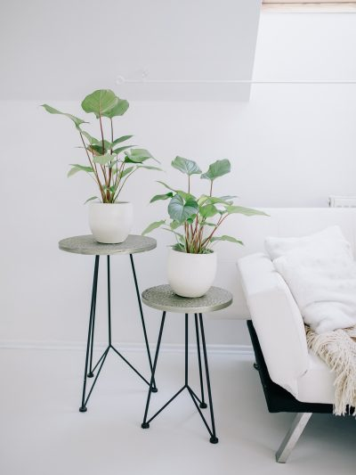Two houseplants homalomena in ceramic pots on side tables next to a white sofa