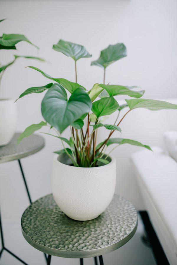pokojova rostlina homalomena v bilem keramickem kvetinaci na kovovem odkladacim stolku